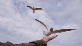 Ταΐζοντας seagulls στην παραλία απόθεμα βίντεο