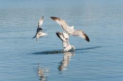 ταΐζοντας seagulls Στοκ Εικόνα