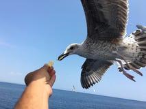 Ταΐζοντας seagulls Στοκ φωτογραφίες με δικαίωμα ελεύθερης χρήσης