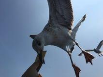 Ταΐζοντας seagulls Στοκ εικόνες με δικαίωμα ελεύθερης χρήσης