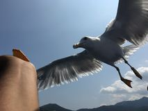 Ταΐζοντας seagulls Στοκ Εικόνες
