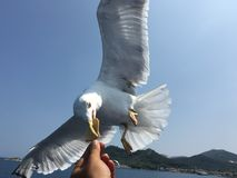 Ταΐζοντας seagulls Στοκ Φωτογραφία