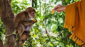 Ταΐστε τον πίθηκο μωρών Στοκ Φωτογραφίες