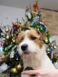 Τακτοποίηση τεριέ του Russell γρύλων σκυλιών στον πίνακα στο σπίτι, χριστουγεννιάτικο δέντρο στο υπόβαθρο Στοκ εικόνες με δικαίωμα ελεύθερης χρήσης