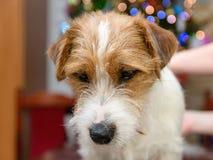 Τακτοποίηση τεριέ του Russell γρύλων σκυλιών στον πίνακα στο σπίτι, χριστουγεννιάτικο δέντρο στο υπόβαθρο Στοκ εικόνα με δικαίωμα ελεύθερης χρήσης