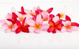 Τακτοποιημένα λουλούδια plumeria στο άσπρο υπόβαθρο Στοκ Φωτογραφίες