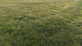 Τακτοποιημένος επίπεδος τομέας χλόης στο ηλιοβασίλεμα φιλμ μικρού μήκους