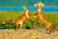 Τανγκό αλεπούδων στο κανάλι βακαλάων ακρωτηρίων Στοκ φωτογραφία με δικαίωμα ελεύθερης χρήσης
