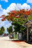 Ταξί ποδηλάτων στην του χωριού οδό ρύπου κάτω από ένα προστατευόμενο δέντρο Poinciana στο σίζαλ Yucatan Μεξικό Στοκ Εικόνες