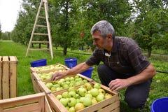 Ταξινομώντας μήλα ατόμων στον οπωρώνα σε Resen, Μακεδονία Στοκ Εικόνες