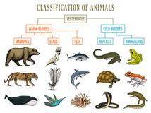 Ταξινόμηση των ζώων Πουλιά θηλαστικών αμφιβίων ερπετών Τα ψάρια κροκοδείλων αντέχουν το βάτραχο φιδιών φαλαινών τιγρών Εκπαίδευση διανυσματική απεικόνιση