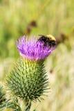 Ταπεινή μέλισσα στον πορφυρό κάρδο Στοκ φωτογραφίες με δικαίωμα ελεύθερης χρήσης