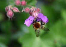 Ταπεινή μέλισσα Στοκ εικόνες με δικαίωμα ελεύθερης χρήσης