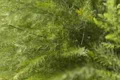 Ταπετσαρία σπαραγγιού Στοκ φωτογραφία με δικαίωμα ελεύθερης χρήσης