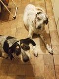 Ταραγμένα σκυλιά στοκ εικόνες