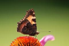ταρταρούγα πεταλούδων Στοκ φωτογραφία με δικαίωμα ελεύθερης χρήσης