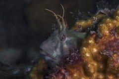 Τασμανικό Blenny Στοκ εικόνα με δικαίωμα ελεύθερης χρήσης