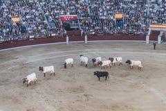 Ταυρομαχία Bullfigt στη Μαδρίτη Στοκ φωτογραφία με δικαίωμα ελεύθερης χρήσης