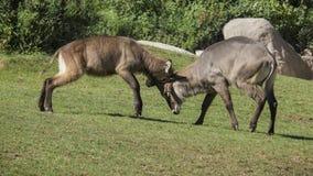 Ταυρότραγος alcina ο Antilope comune & x28 Taurotragus oryx& x29  Στοκ Φωτογραφίες