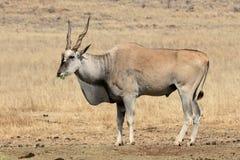 Ταυρότραγος, Taurotragus oryx Στοκ εικόνα με δικαίωμα ελεύθερης χρήσης