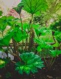 Ταχέως αναπτυσσόμενο πράσινο φυτό με τα μεγάλα φύλλα Στοκ εικόνες με δικαίωμα ελεύθερης χρήσης