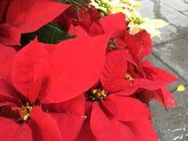 Ταϊβανικά λουλούδια Χριστουγέννων στοκ εικόνες με δικαίωμα ελεύθερης χρήσης