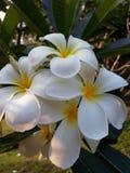 Ταϊλάνδη Εθνικό ταϊλανδικό λουλούδι frangipani Plumeria Στοκ εικόνα με δικαίωμα ελεύθερης χρήσης