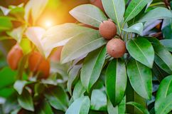 Ταϊλανδικά τρυφερά φρούτα στοκ εικόνα με δικαίωμα ελεύθερης χρήσης