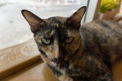 Ταϊλανδική γάτα με τα τρομακτικά μάτια Στοκ φωτογραφία με δικαίωμα ελεύθερης χρήσης