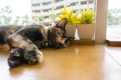 Ταϊλανδική γάτα με τα τρομακτικά μάτια Στοκ εικόνα με δικαίωμα ελεύθερης χρήσης