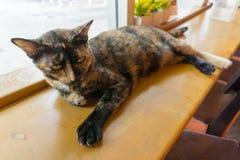 Ταϊλανδική γάτα με τα τρομακτικά μάτια Στοκ Εικόνες