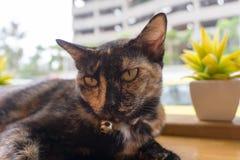 Ταϊλανδική γάτα με τα τρομακτικά μάτια Στοκ εικόνες με δικαίωμα ελεύθερης χρήσης