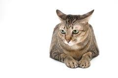 Ταϊλανδική γάτα, περίεργο πρόσωπο Στοκ Εικόνες