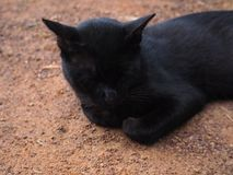Ταϊλανδική μαύρη γάτα Στοκ Εικόνα