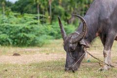 Ταϊλανδική τροφή βούβαλων με τη χλόη προτού να πάρουν θανατωμένοι στοκ εικόνα
