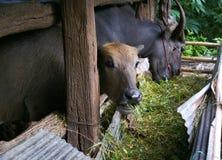 Ταϊλανδικοί βούβαλοι στο αγρόκτημα Στοκ Φωτογραφία