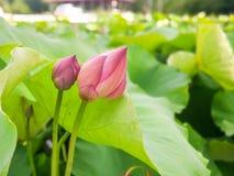 Ταϊλανδικός αγρότης που φυτεύει το λωτό στοκ φωτογραφίες με δικαίωμα ελεύθερης χρήσης