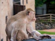 Ταϊλανδικός πίθηκος Macaque στο cityclose επάνω, Lopburi, Ταϊλάνδη Στοκ Φωτογραφία