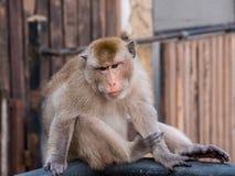 Ταϊλανδικός πίθηκος Macaque στο cityclose επάνω, Lopburi, Ταϊλάνδη Στοκ Φωτογραφίες