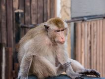 Ταϊλανδικός πίθηκος Macaque στο cityclose επάνω, Lopburi, Ταϊλάνδη Στοκ Εικόνες