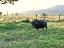 Ταϊλανδικό αρσενικό μαύρο Buffalo στοκ εικόνα με δικαίωμα ελεύθερης χρήσης