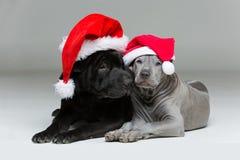 Ταϊλανδικό κουτάβι ridgeback και shar σκυλί pei Στοκ εικόνες με δικαίωμα ελεύθερης χρήσης