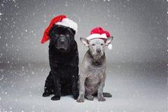 Ταϊλανδικό κουτάβι ridgeback και shar σκυλί pei Στοκ Εικόνα