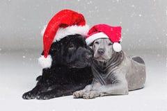 Ταϊλανδικό κουτάβι ridgeback και shar σκυλί pei Στοκ εικόνα με δικαίωμα ελεύθερης χρήσης
