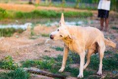 Ταϊλανδικό λαϊκό κτύπημα σκυλιών η τρίχα Στοκ Φωτογραφία