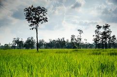 Ταϊλανδικό ρύζι Hom Μαλί ένας από τον κόσμο στοκ εικόνες