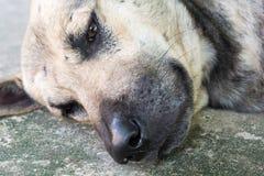 Ταϊλανδικό σκυλί ένας ύπνος επάνω στοκ φωτογραφία