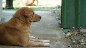 Ταϊλανδικό χρυσό σκυλί Στοκ εικόνα με δικαίωμα ελεύθερης χρήσης