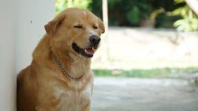 Ταϊλανδικό χρυσό σκυλί Στοκ φωτογραφία με δικαίωμα ελεύθερης χρήσης