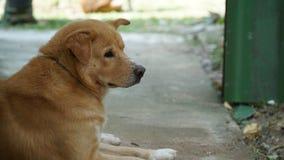 Ταϊλανδικό χρυσό σκυλί Στοκ φωτογραφίες με δικαίωμα ελεύθερης χρήσης